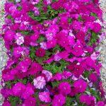 Фото 62: Петуния многоцветковая Дамаск Кармин