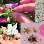 Фото 71: Сбор семян петунии