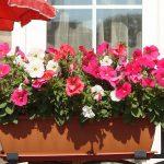 Фото 106: Выращивание петунии в балконном ящике