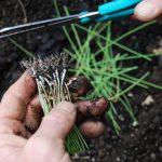 Фото 70: Подрезка корневой системы лука–порея перед высадкой в открытый грунт