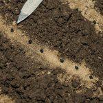 Фото 54: Посев лука–порея из семян в южных районах