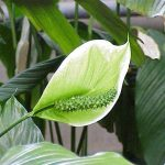 Фото 124: Позеленение покрывала спатифиллума