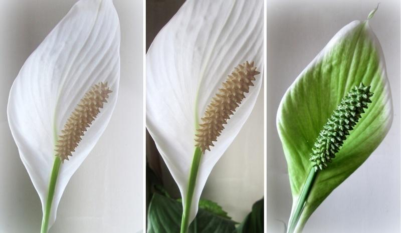 Позеленение цветоноса спатифиллума