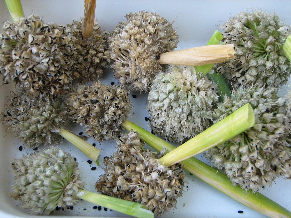 Сбор семян лука-порея