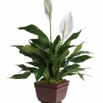 Фото 132: Spathiphyllum peace lily