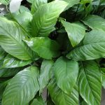 Фото 46: Листья спатифиллума ложковидного