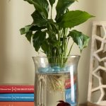Фото 90: Выращивание спатифиллума в воде