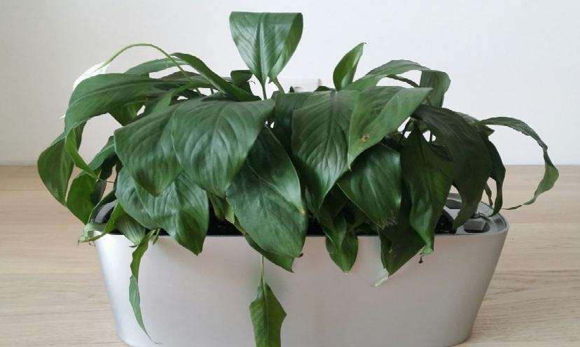 Опускание листьев спатифиллума при недостаточном поливе