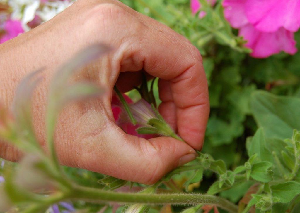 Засохшие цветы петунии