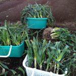 Фото 110: Урожай лука–порея