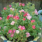 Фото 118: Выращивание годеции в вазоне