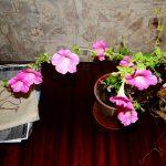 Фото 110: Выращивание петунии в домашних условиях