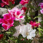 Фото 59: Выращивание годеции Мотылёк