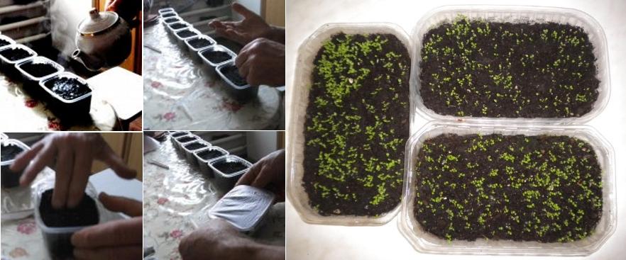Выращивание семян петунии при помощи кипятка