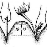 Фото 116: Фото как садить лук порей