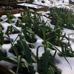 Фото 117: Фото лук порей зимой