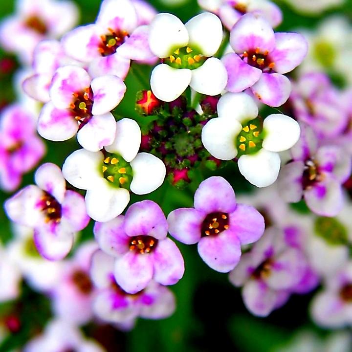 Алиссум цветы (2)