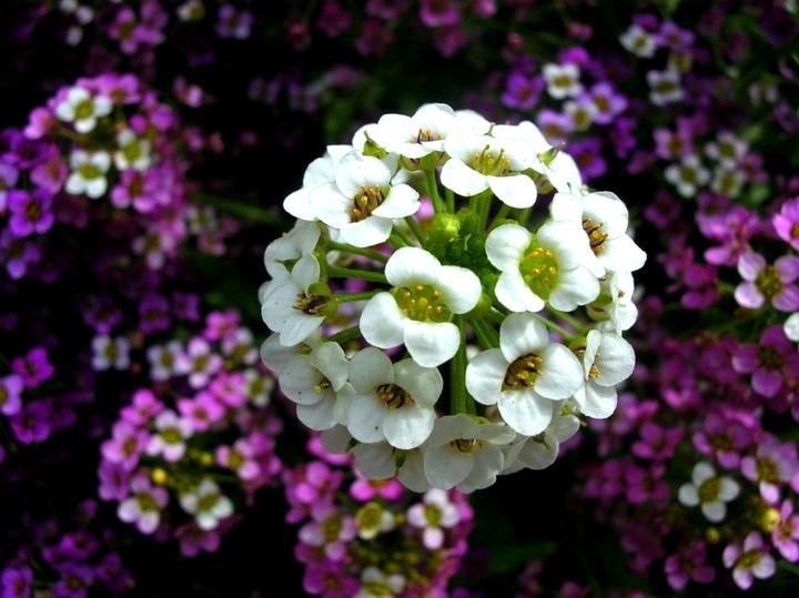 Алиссум цветы