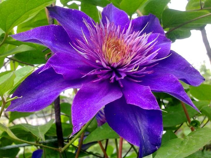 Клематис цветок