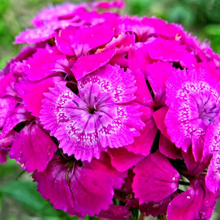 гвоздика турецкая цветы