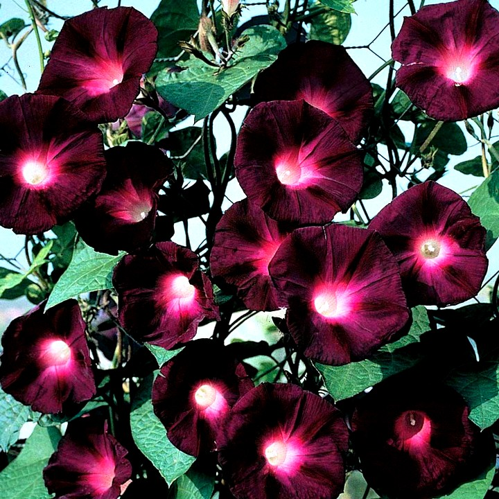 ипомея цветы