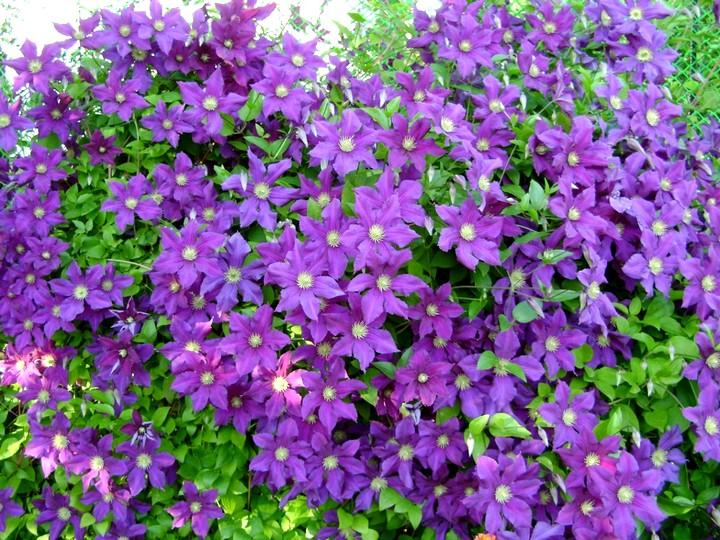 клематис цветы (2)