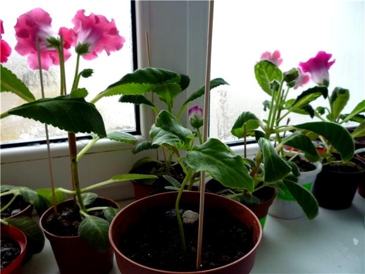 кобея выращивание (2)