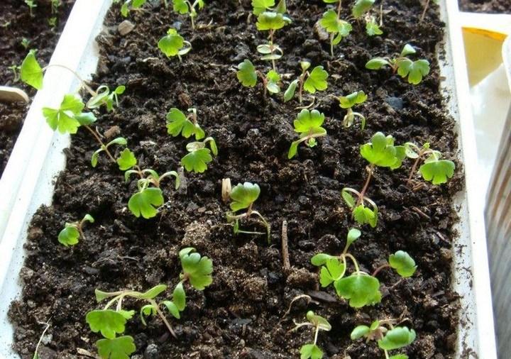 корневой сельдерей выращивание