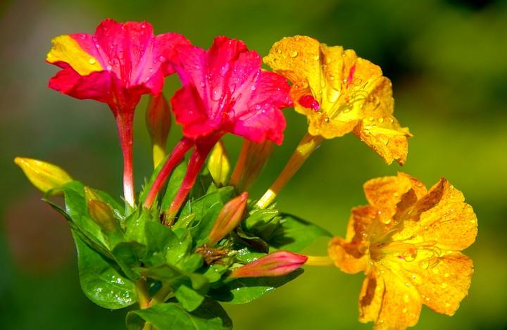 мирабилис цветы (2)