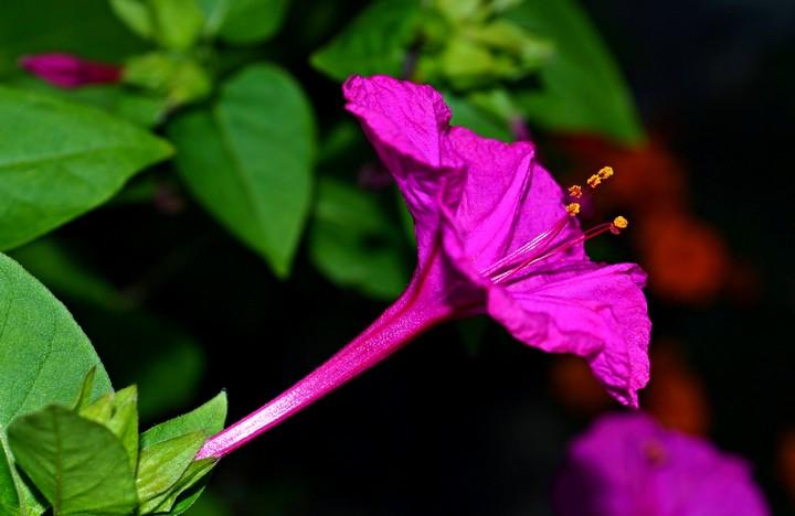 мирабилис цветы (4)