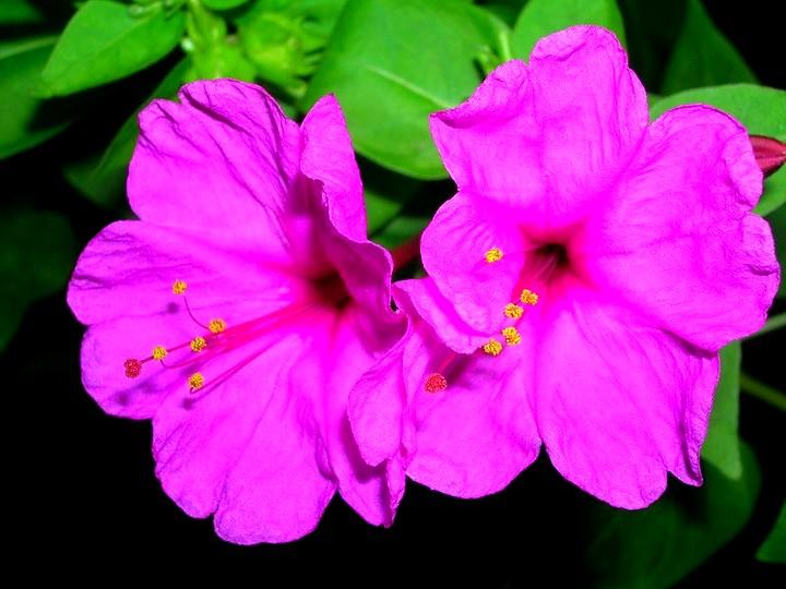 мирабилис цветы