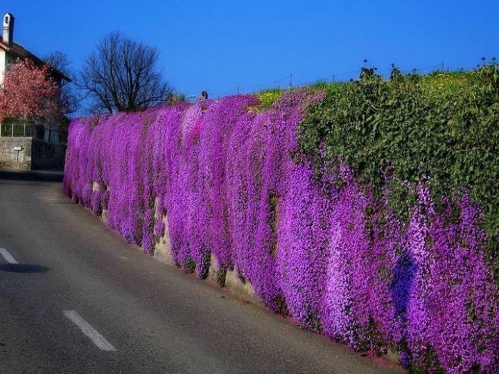 обриета цветы