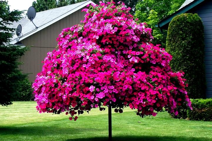петуния ампельная дерево