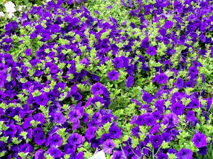 петуния ампельная фиолетовая