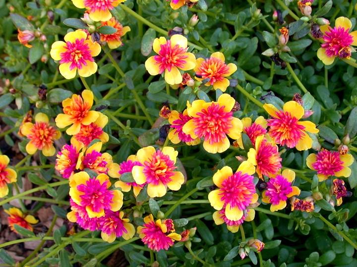 портулак цветы (3)