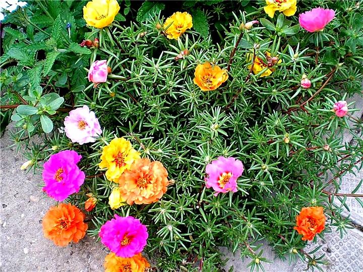 портулак цветы (5)