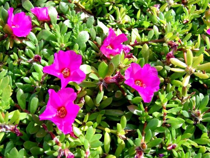 портулак цветы (6)