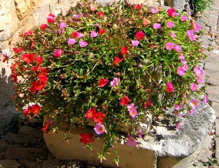 портулак цветы2