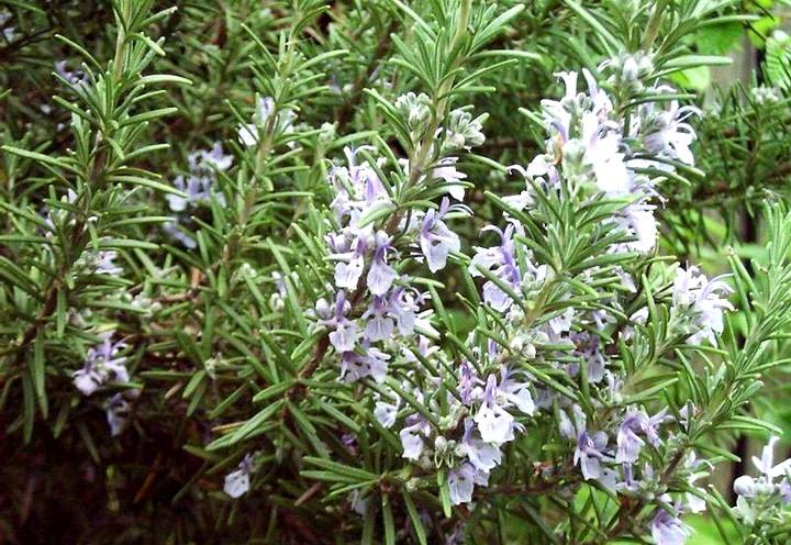 розмарин цветы (5)
