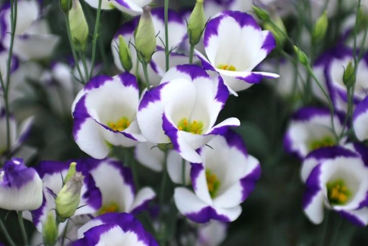 Красивое растение для дачи - эустома