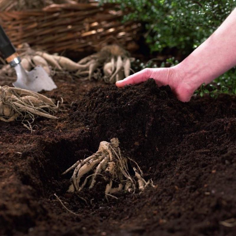 Почва для посадки георгинов