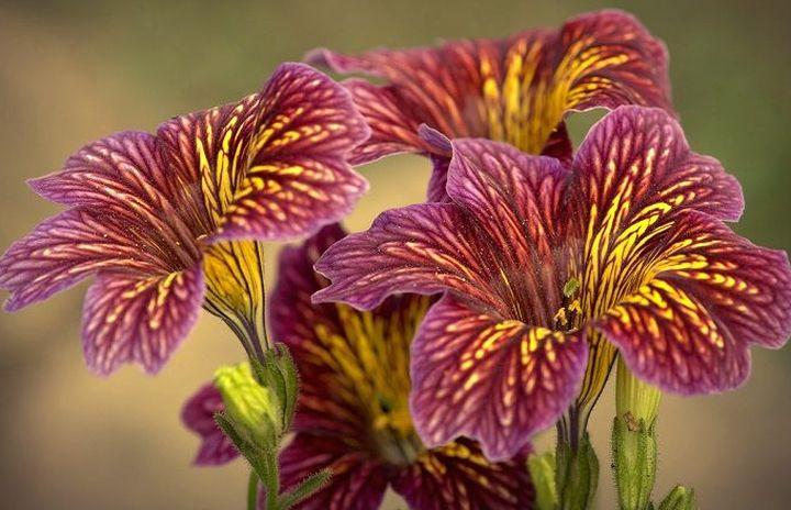 Пышное цветение сальпиглоссис