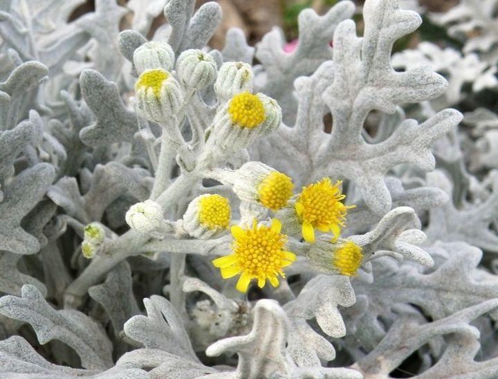 Невзрачные соцветия цинерарии