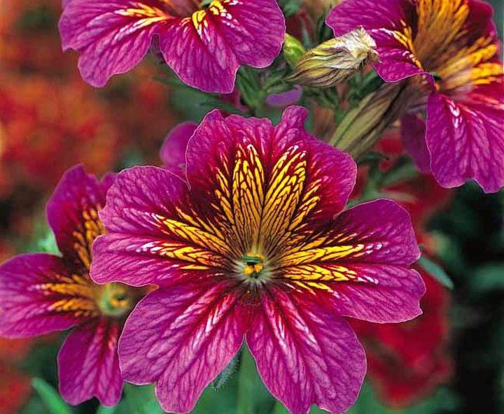 Сочное и прекрасное цветение сальпиглоссиса