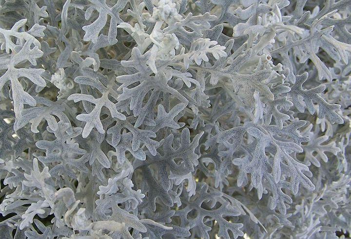 Резная листва цинерарии
