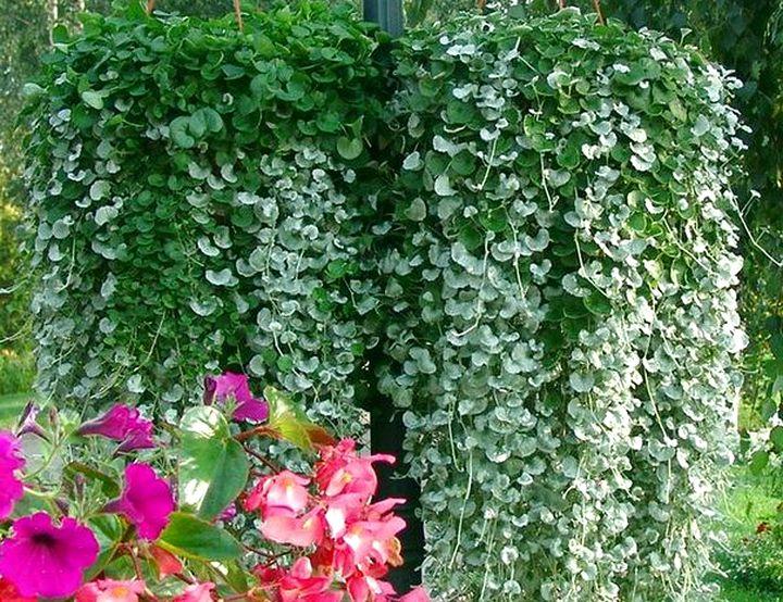 Роскошная листва дихондры
