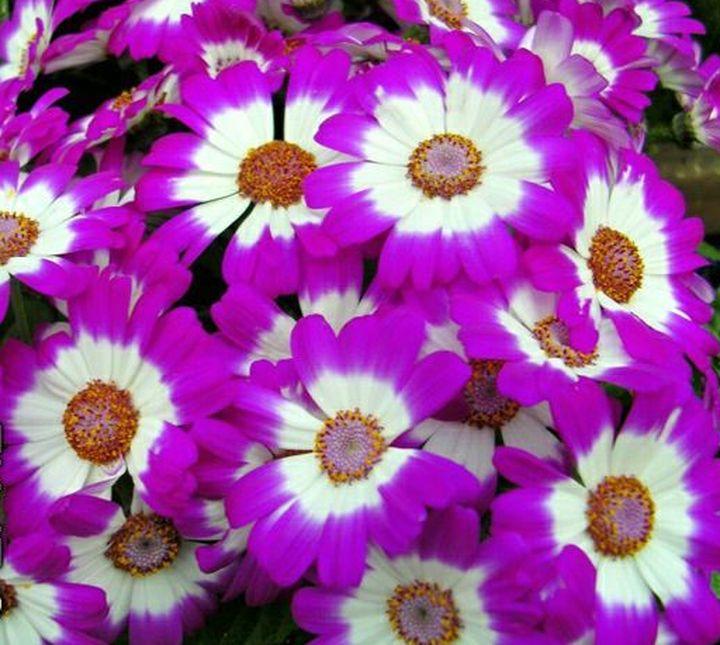 Пышные соцветия