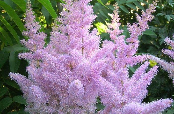 Восхитительное цветение астильбы