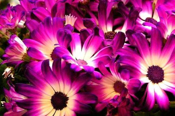 Чудесные цветы цинерарии