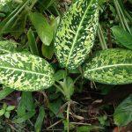 Фото 49: Dieffenbachia maculata